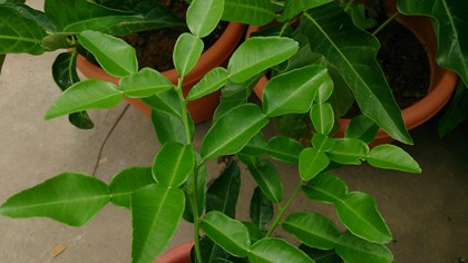Makrut lime leaves